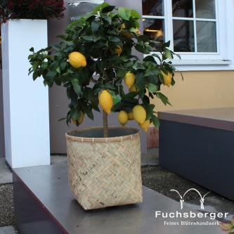 Zitronenstämmchen