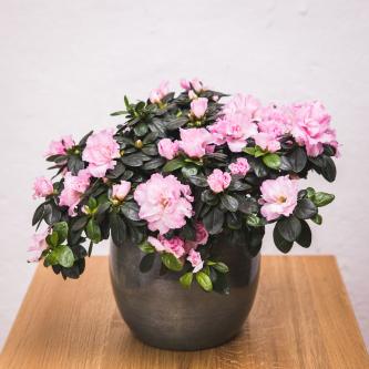 Azalee rosa/pink